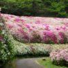 【東大阪】絶景!府民の森「なるかわ園地」に咲く一面のツツジ