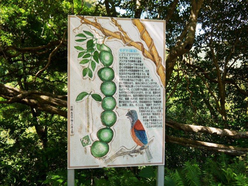 奄美大島モダマ