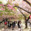 【大阪】春の風物詩!造幣局の通り抜けの開催期間と最寄り駅について