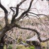 【大阪】山中渓の地福寺に咲く枝垂れ桜!一度は満開の姿を見てみたい