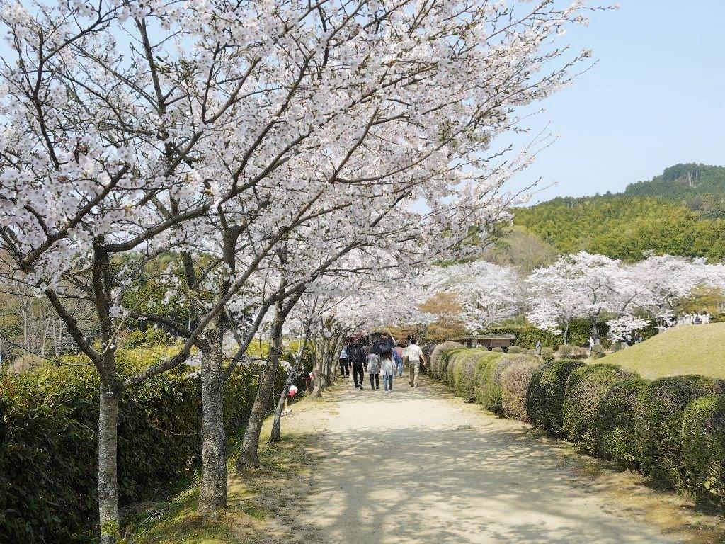 石舞台古墳、桜