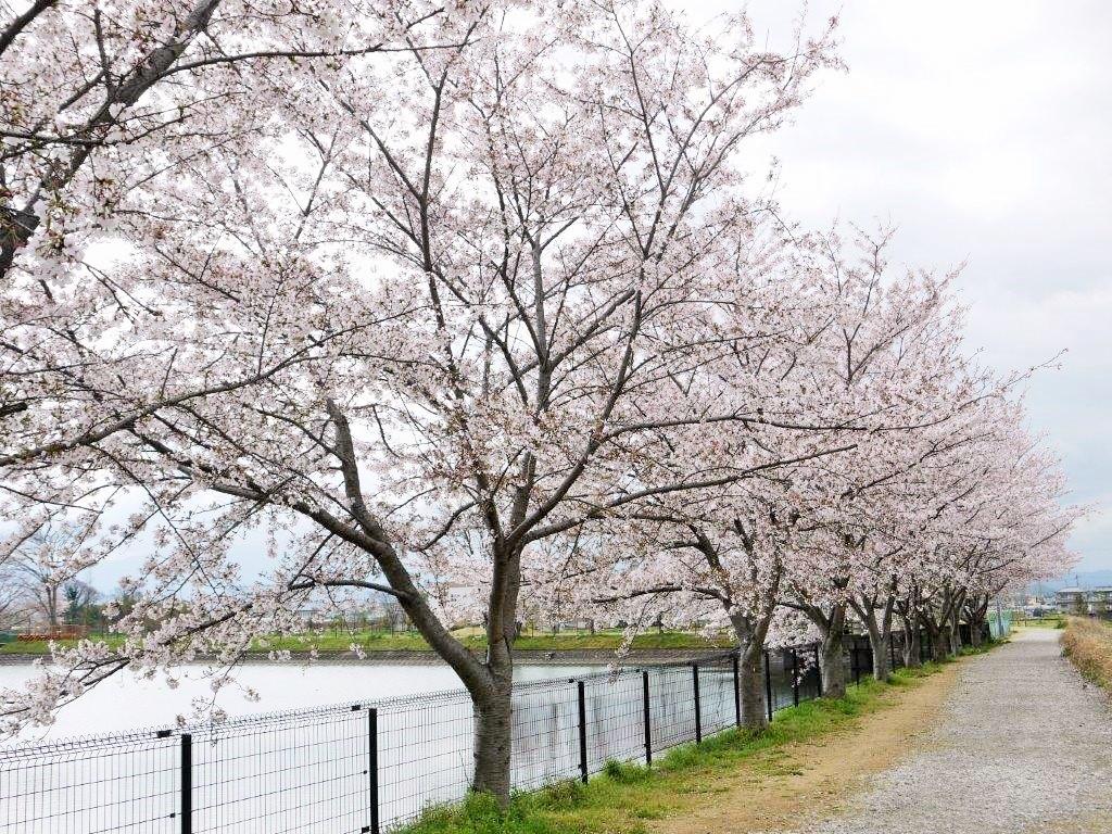 唐子・鍵遺跡、桜