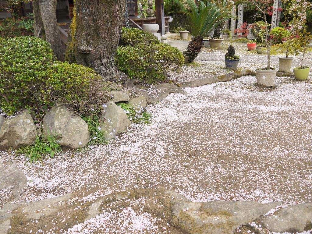 地福寺、桜