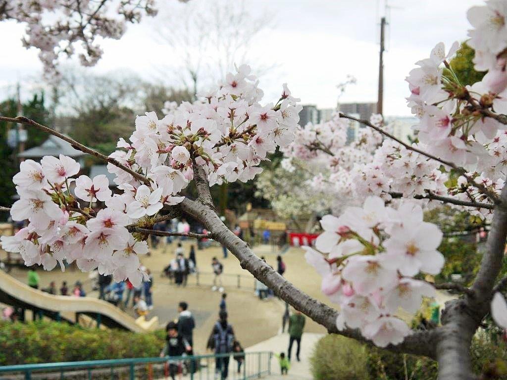 五月山公園、桜