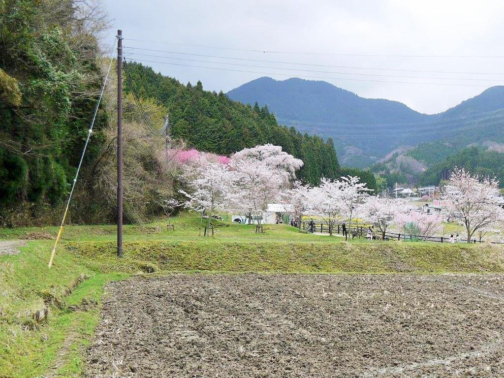 北向き地蔵の桜