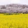 【奈良】藤原宮跡で満開の桜と菜の花畑の共演!まるで極楽浄土の風景