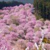 【奈良】桜満開の高見の郷…渋滞&駐車場は?絶対に見たい感動の絶景