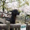 【大阪】五月山動物園で桜満開!子供が楽しめる入場無料の動物園