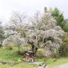【奈良】なぜ北向きなの?又兵衛桜の近くで孤高に咲く北向き地蔵の桜